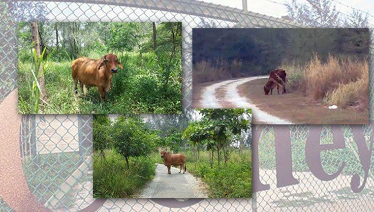 coney island cow
